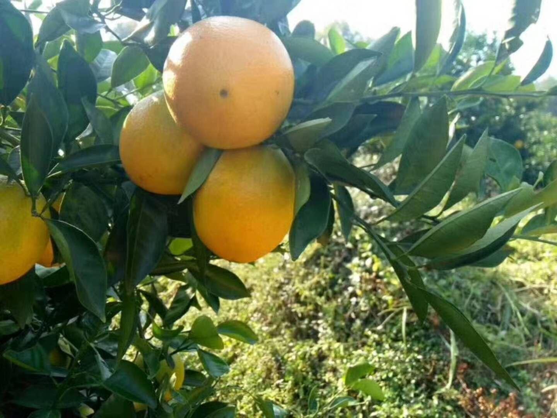 """江西赣南脐橙实现""""从果园到餐桌""""全程质量控制"""