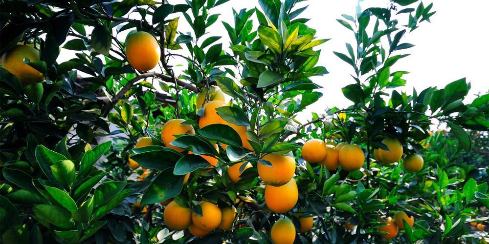 如何使用脐橙保鲜冷库贮藏脐橙
