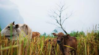 黔东南牛羊瘪
