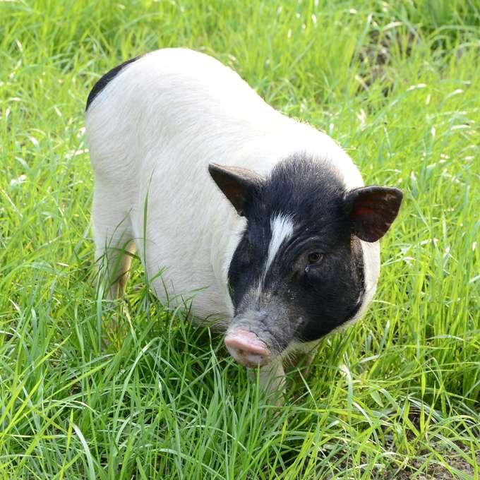 广西巴马香猪(猪苗 活体香猪)