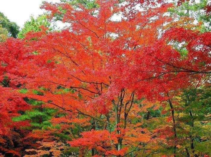 园林景观苗木