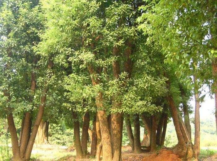 景观骨干树种