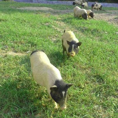巴马香猪种猪