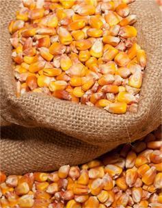 广西大化七百弄鸡主食是玉米